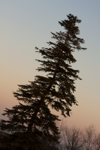 Evergreen at sunset, Crane Estate, Massachusetts